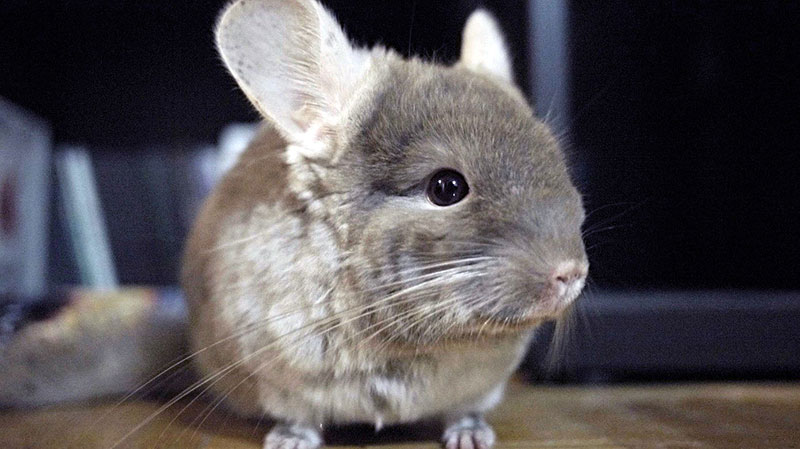 All-You-Need-to-Know-About-Chinchillas-2