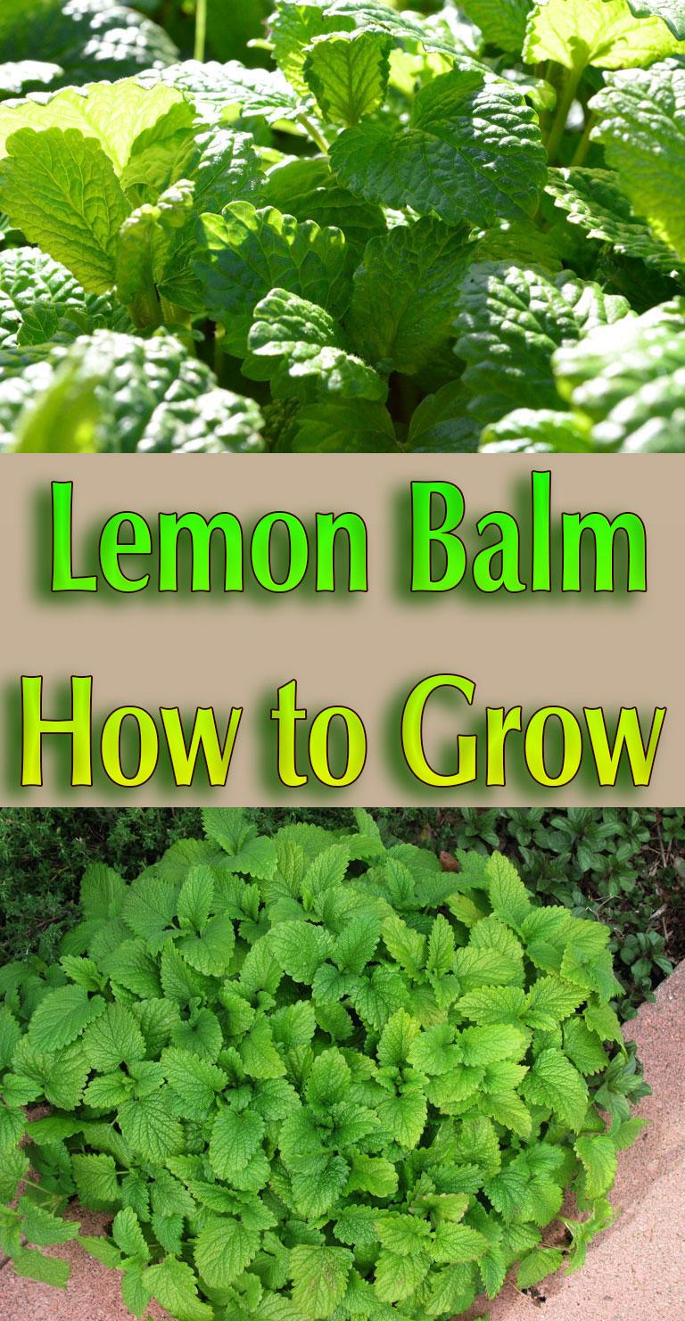 Lemon Balm - How to Grow