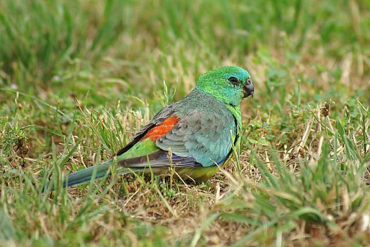 Red Rumped Parrot