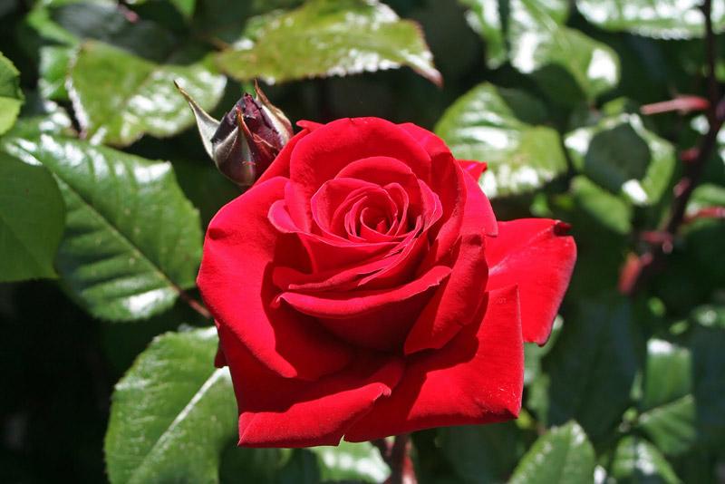 Rose-'Ingrid-Bergman'