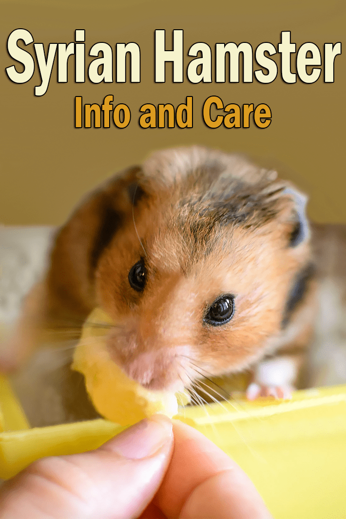 Syrian Hamster – Small Pet Buddy