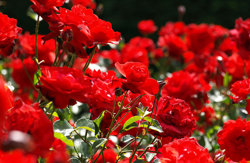 field-of-roses
