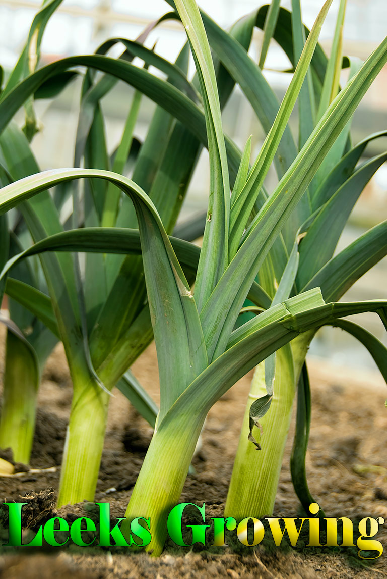 How to Grow Leeks – Gardening Tips