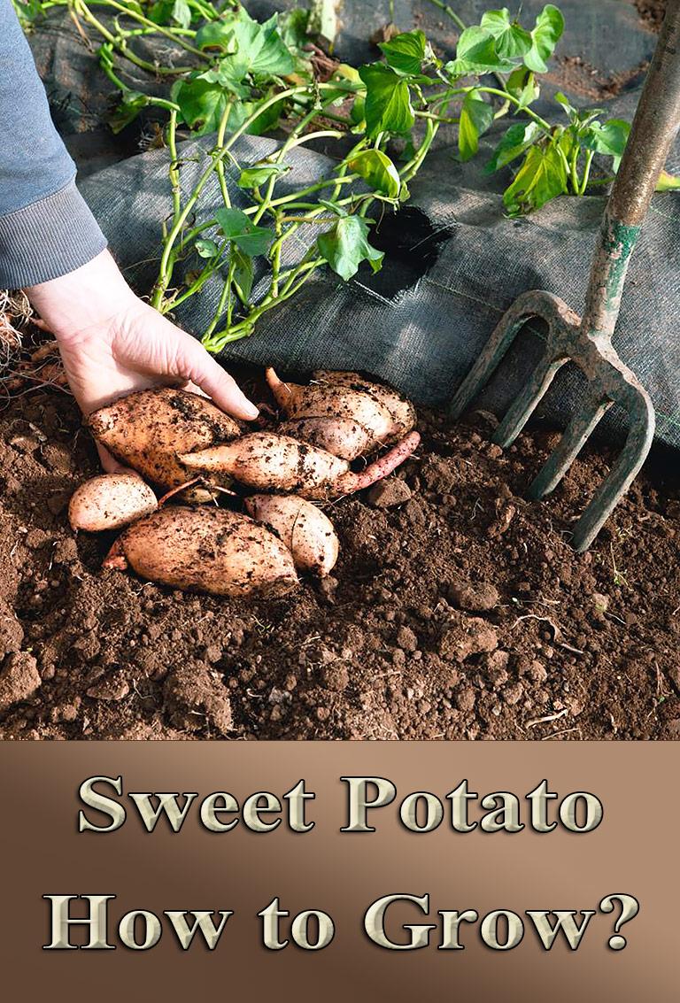 Sweet Potato - How To Grow