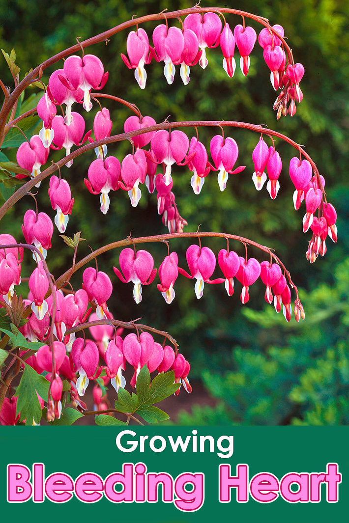 How to Grow Bleeding Heart - Quiet Corner