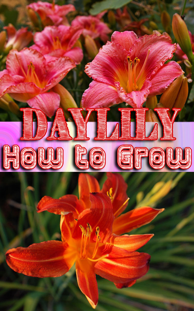 Daylily foliage looks great all season, flowers in a rainbow of colors, no special care and now, many that reward you with both a spring and fall season of bloom. Few plants are as rugged, widely adapted, or versatile as daylilies. And with more than 13,000 cultivars available, there's a size and flower color for every garden... #garden #Daylily