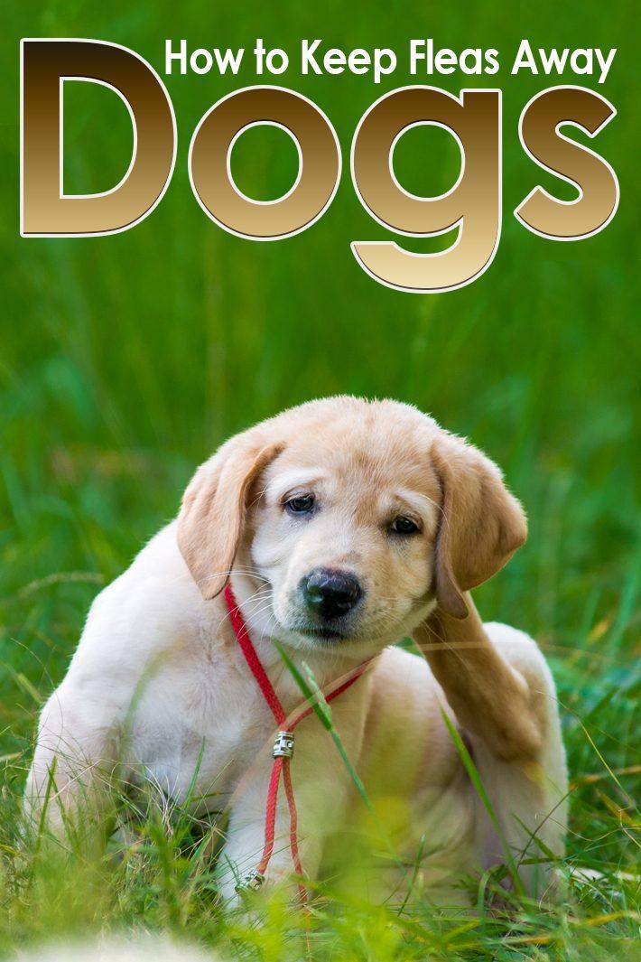 Dogs – How to Keep Fleas Away