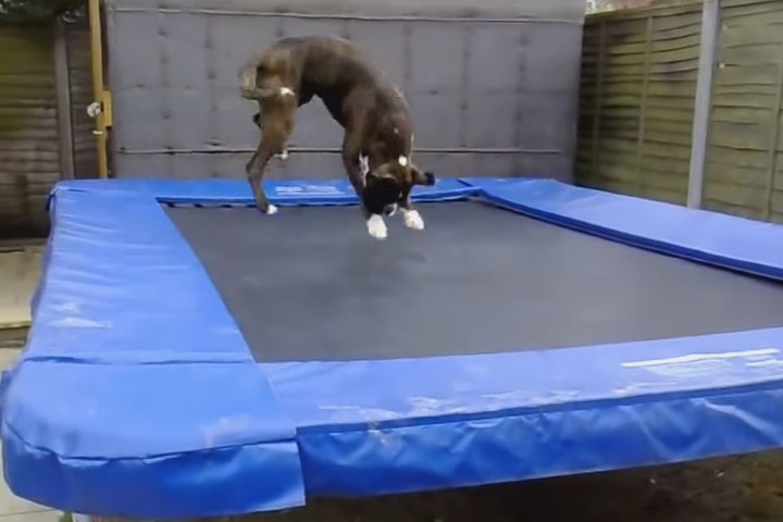Dogs on Trampolines Compilation