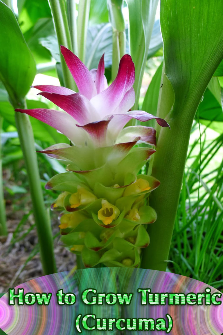 How to Grow Turmeric (Curcuma)