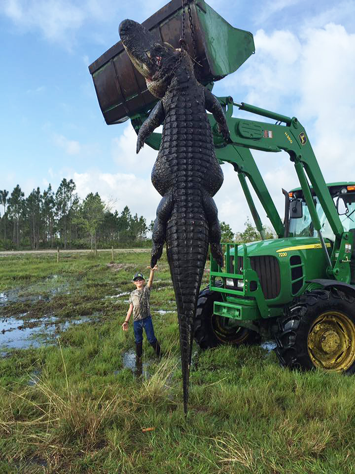 Monster 780 pound gator caught in Florida