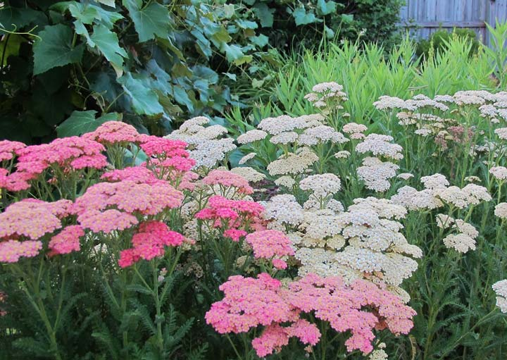 Yarrow - How to Grow