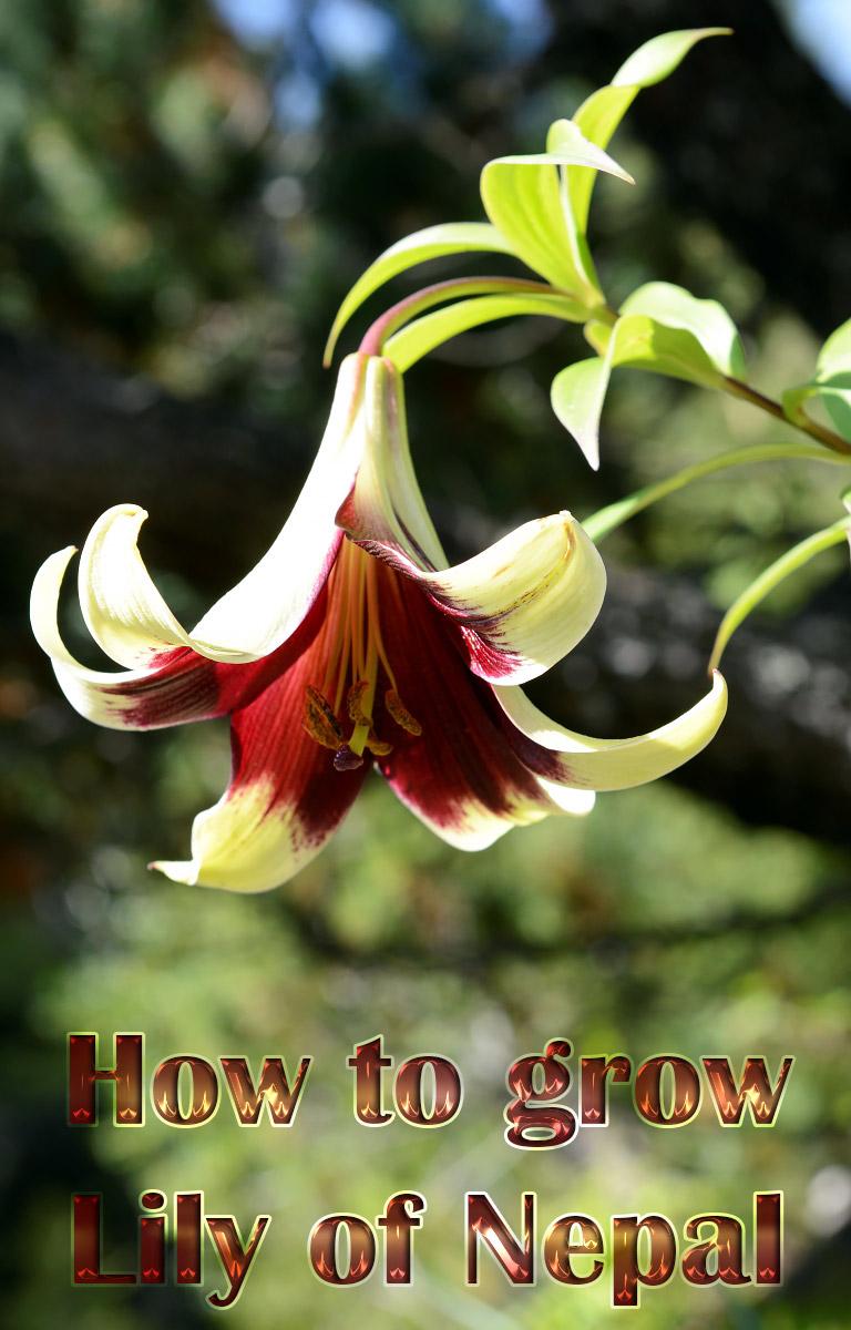 How to grow Lily of Nepal (Lilium Nepalense)