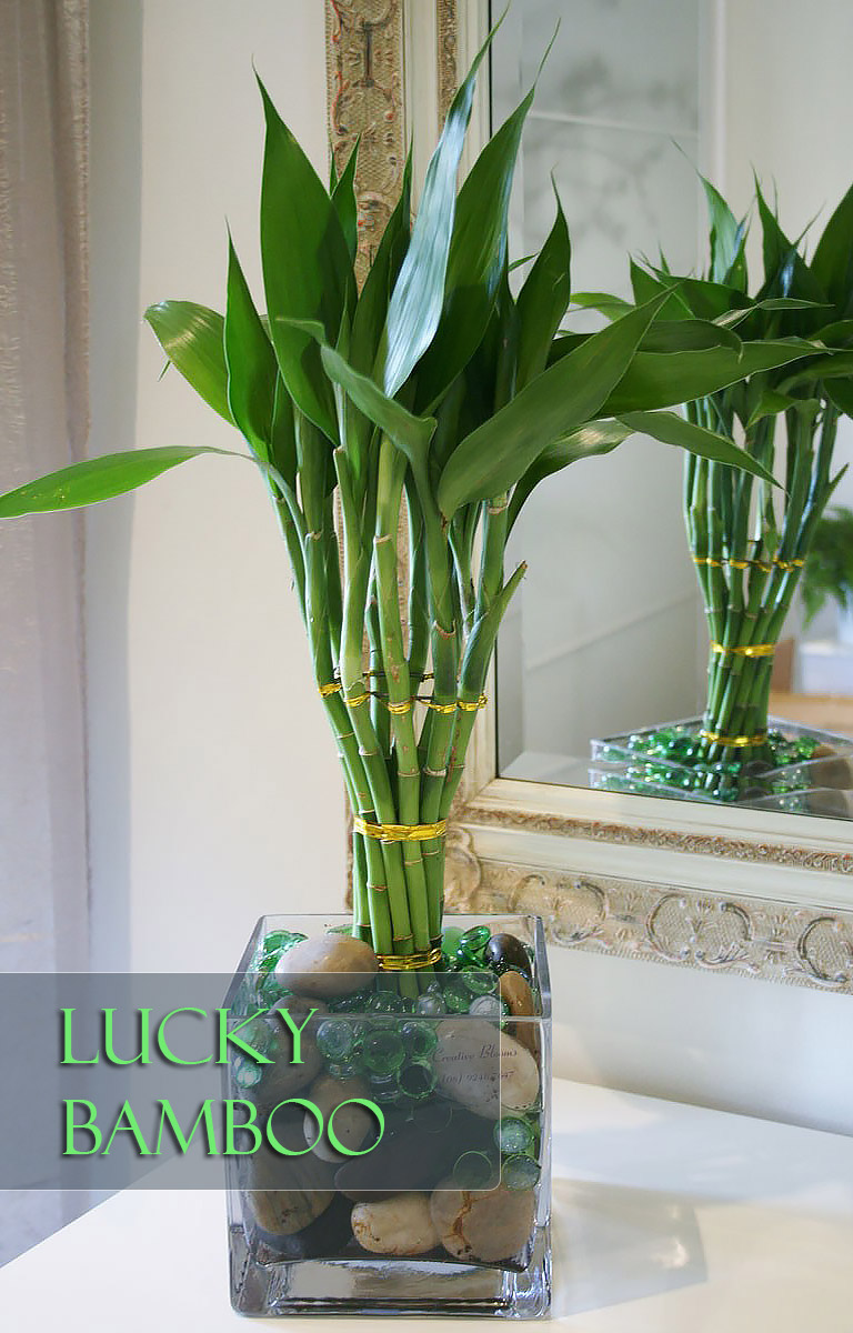 Lucky Bamboo - Perfect Office Plant