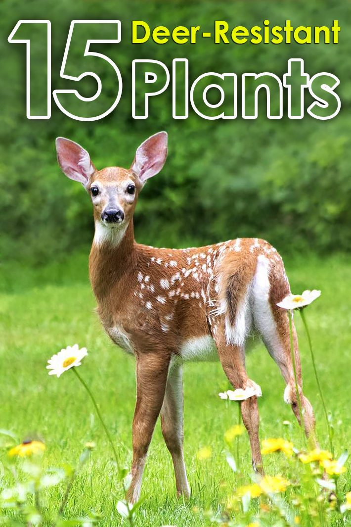 15 Deer Resistant Plants