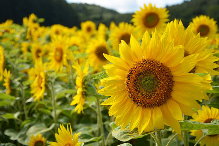Sunflower – Growing Guide