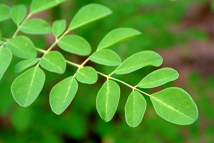 How to Grow Moringa Tree