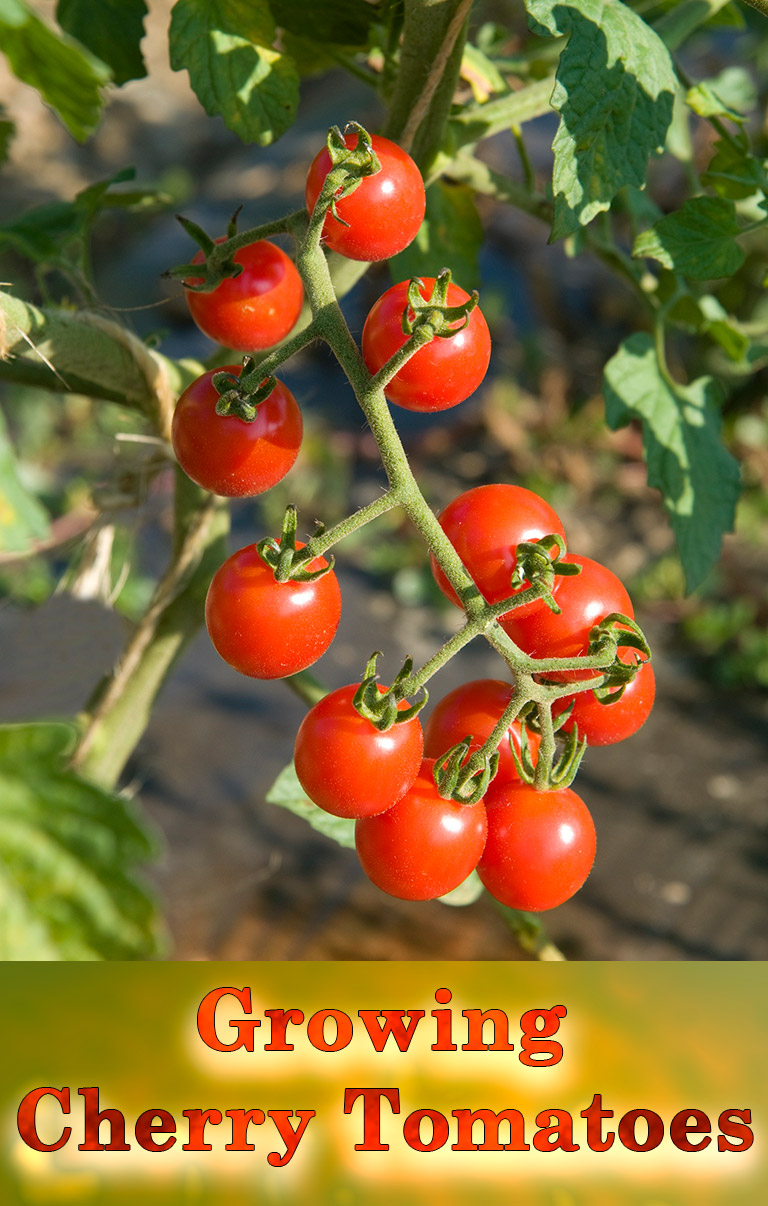 Cherry Tomatoes – Growing Guide