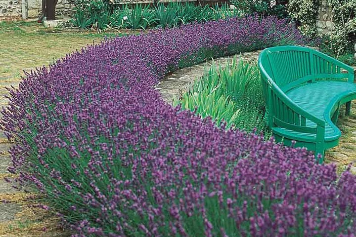 Lavender Hedge – Create and Care