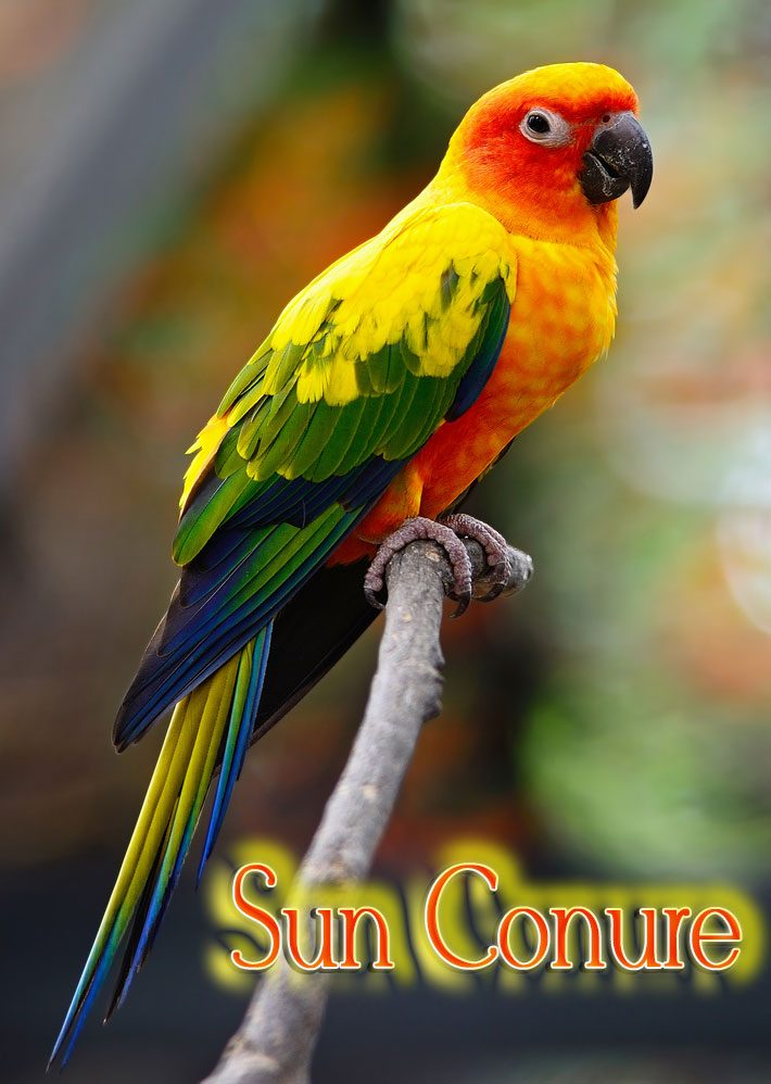 Lovely Sun Conure Parrot