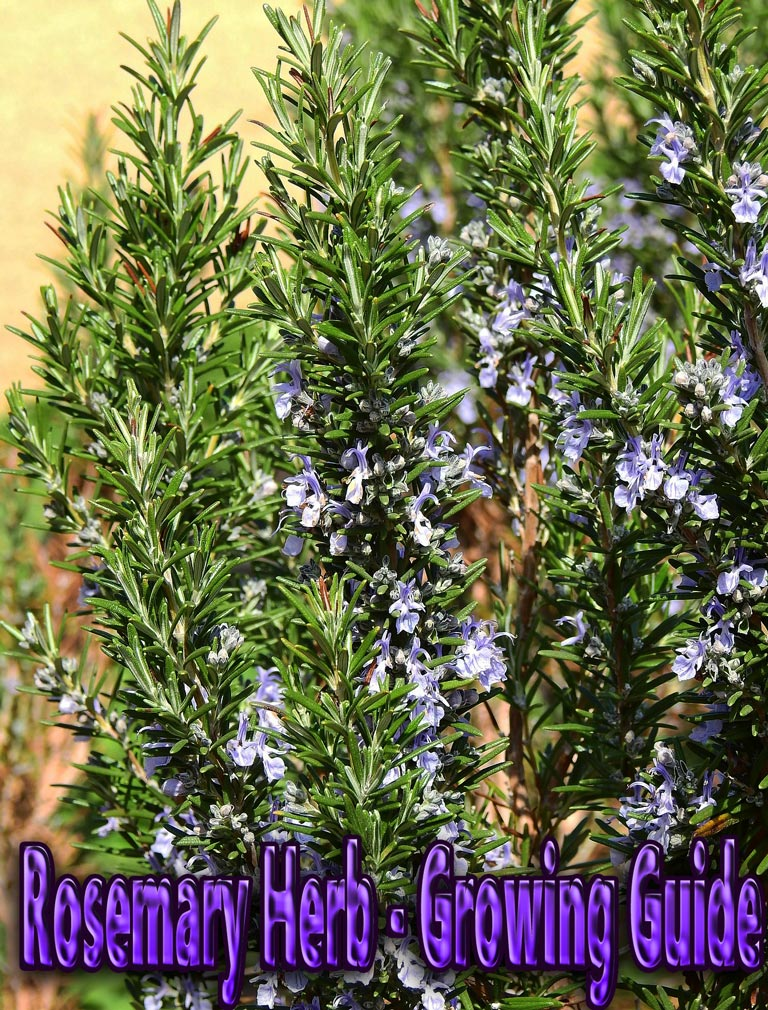 Rosemary Herb - Growing Guide