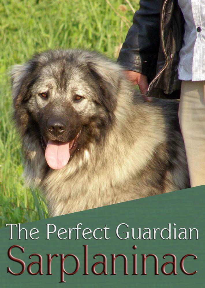 Sarplaninac – The Perfect Guardian