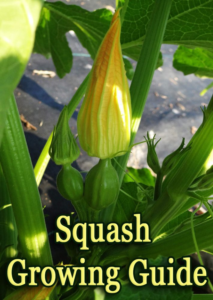 Squash – Growing Guide