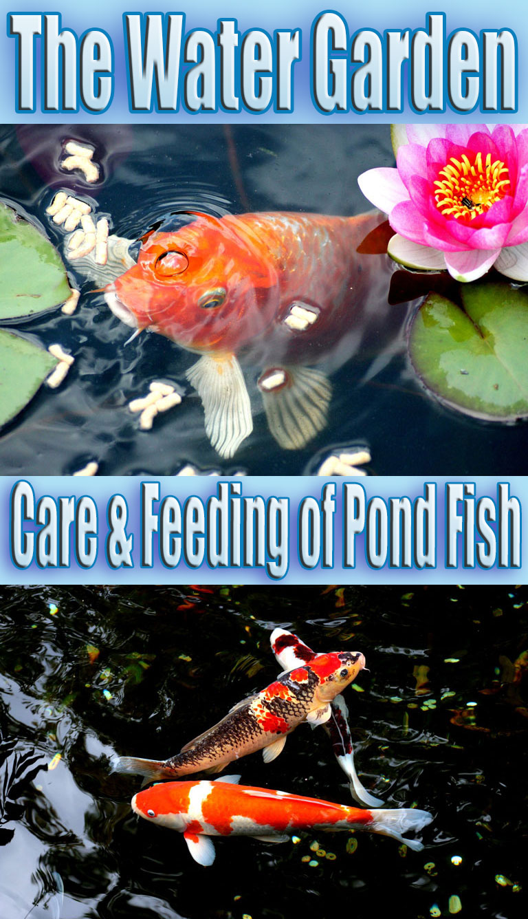 The Water Garden – Care & Feeding of Pond Fish