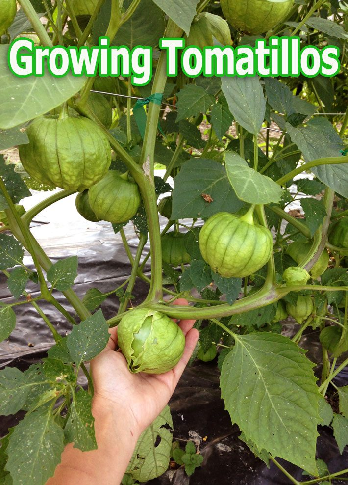 Tomatillos – Growing Guide