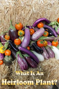 What Is An Heirloom Plant?