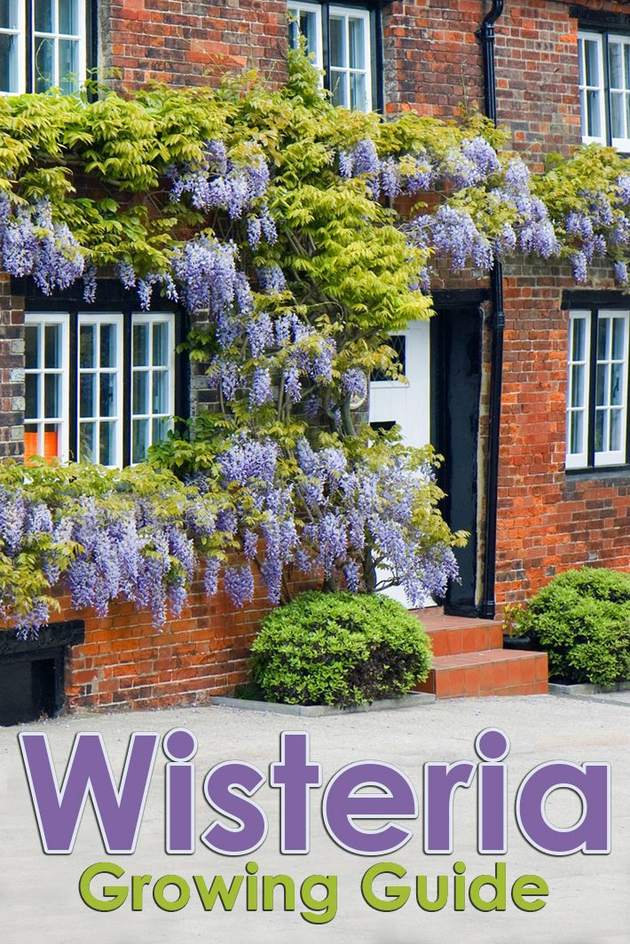 High Climbers – Wisteria Growing Guide