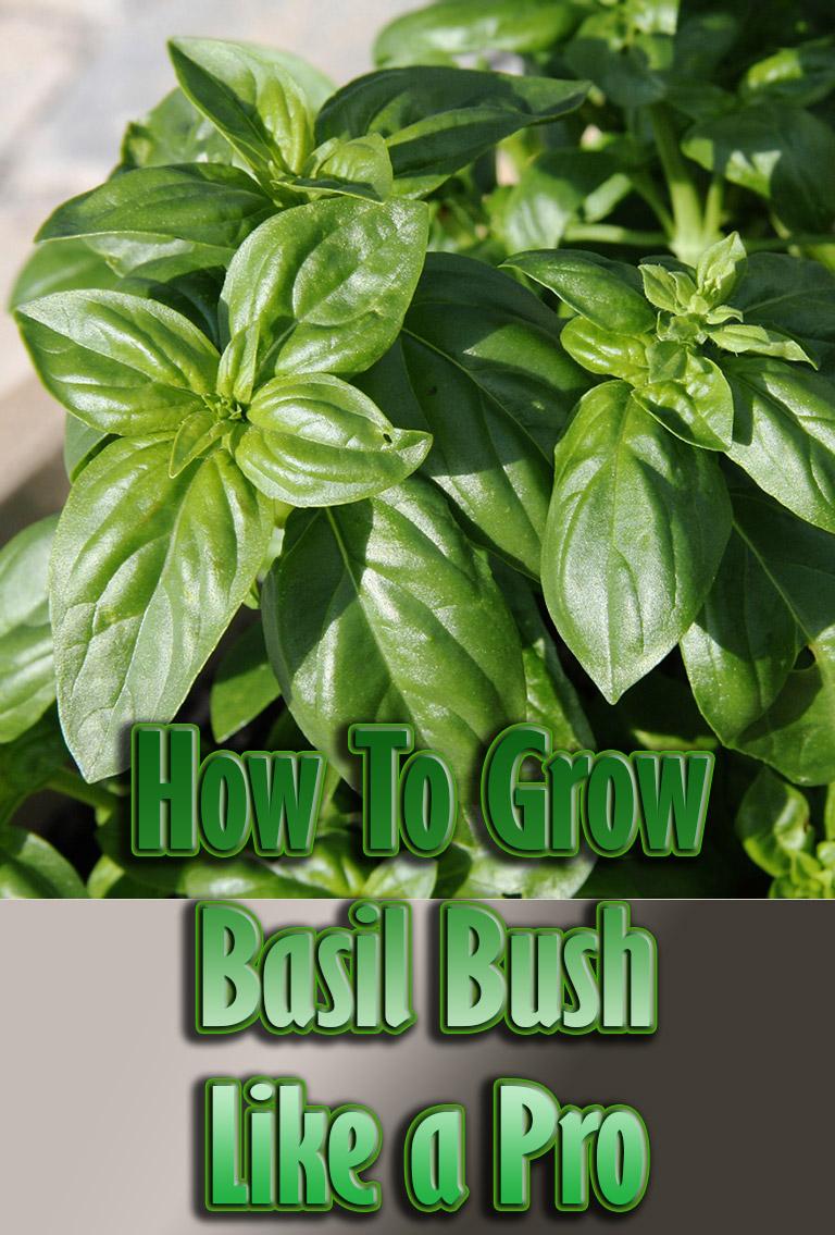 How To Grow Basil Bush Like a Pro