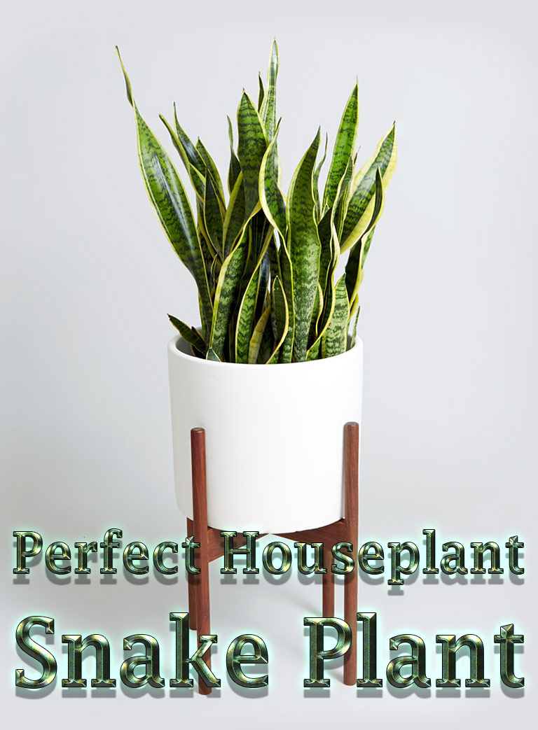 Snake Plant - Perfect Houseplant