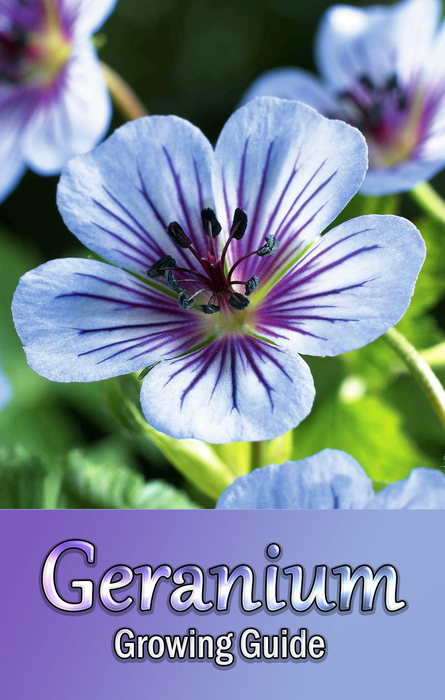 Geranium - Growing Guide