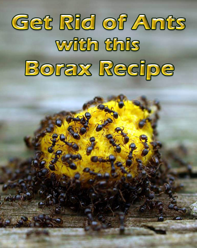 Get Rid of Ants with this Borax Recipe