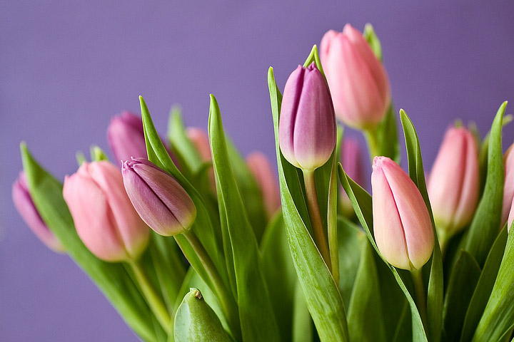 Tulips – Growing Guide