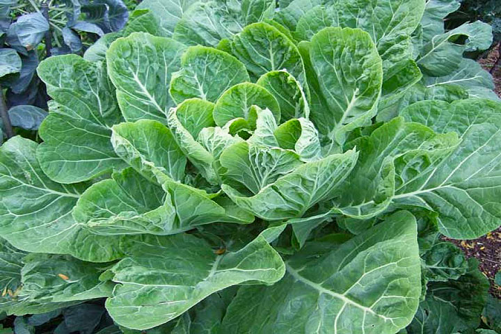 Collards – Growing Guide
