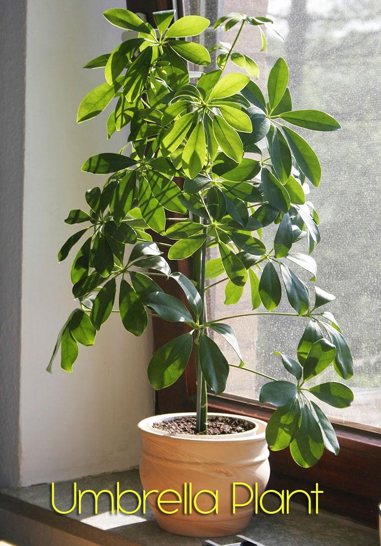 Umbrella Plant (Schefflera Arboricola)
