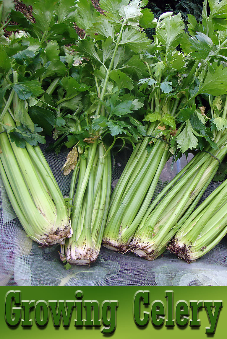 Celery - Growing Guide