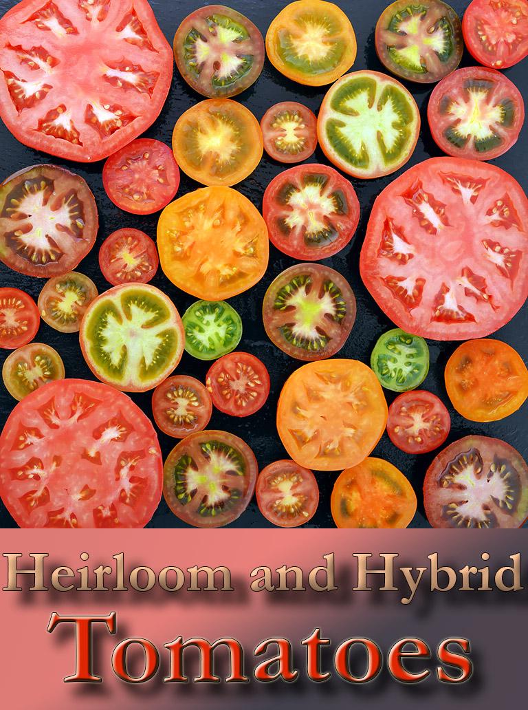 Heirloom and Hybrid Tomatoes Explained