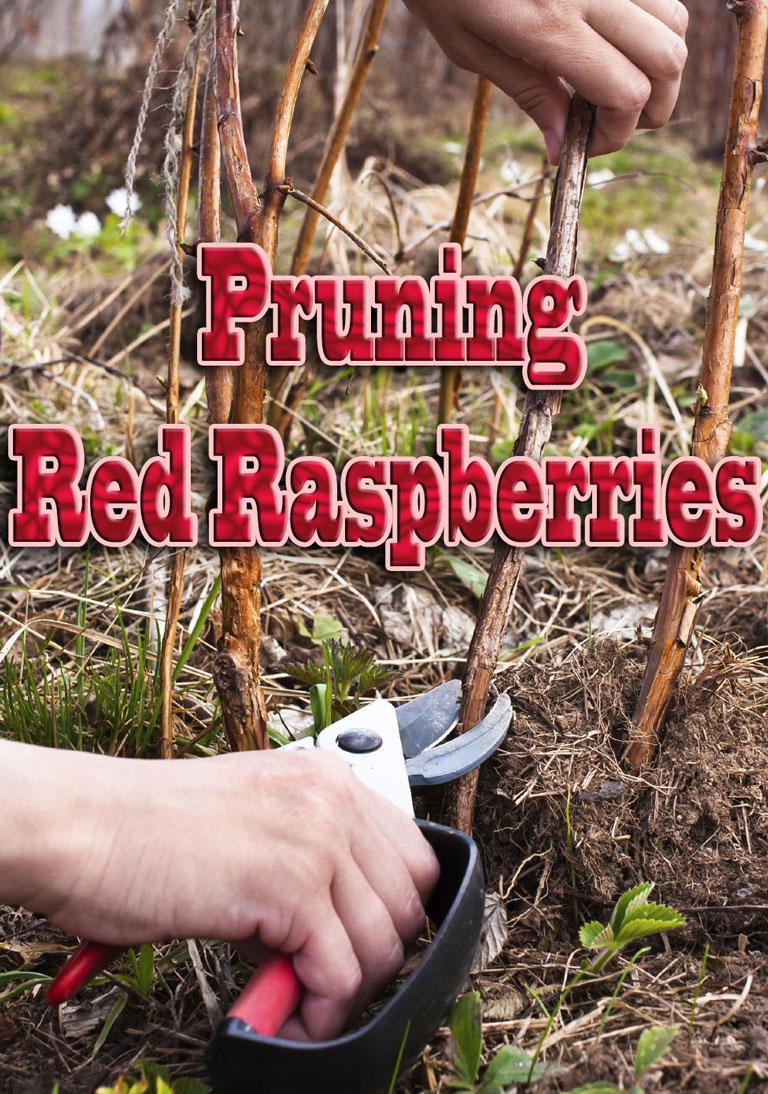 Pruning Red Raspberries