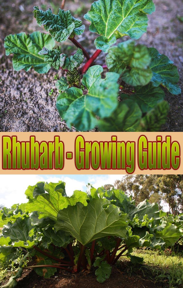 Rhubarb - Growing Guide