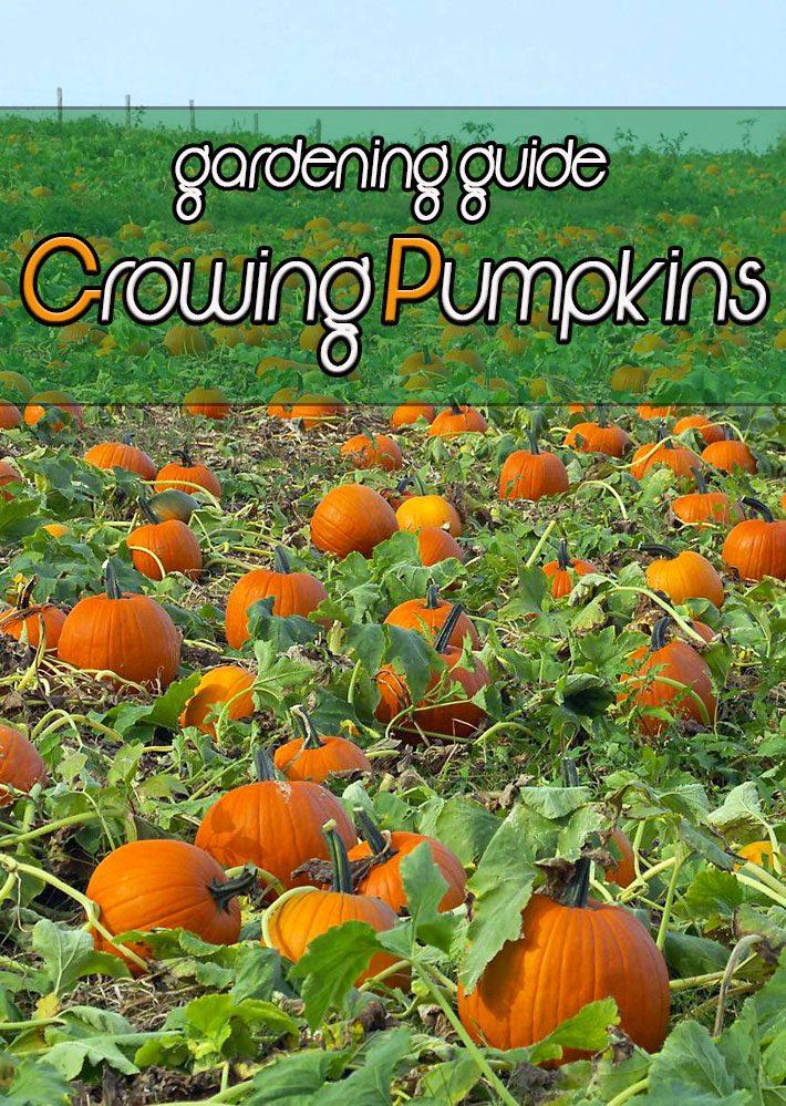 Pumpkins – Growing Guide