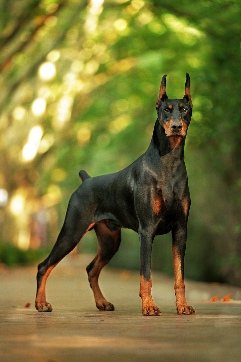 Doberman Pinscher Dog Breed Info