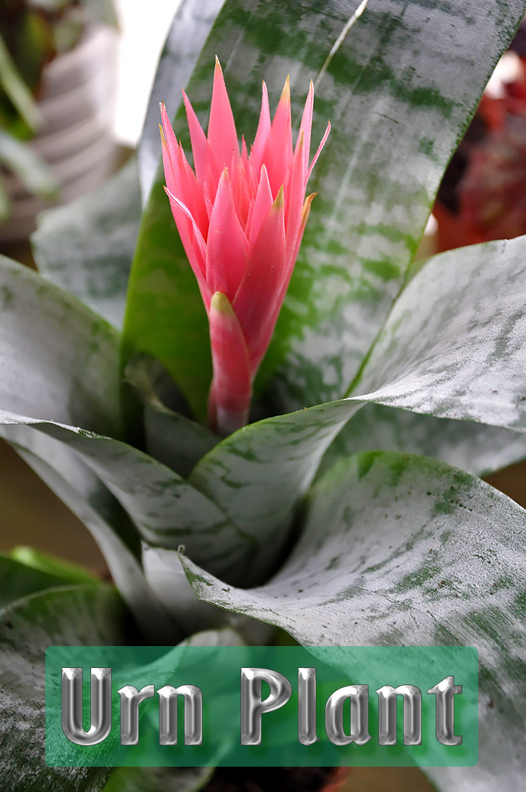 Urn Plant - Growing and Care Guide