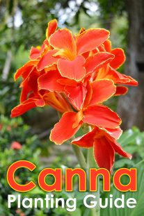 Canna Planting Guide