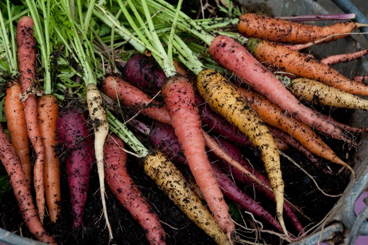 How to Plant Rainbow Carrots