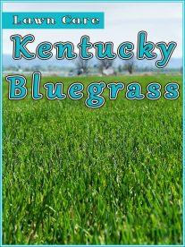 Kentucky Bluegrass Lawn Care