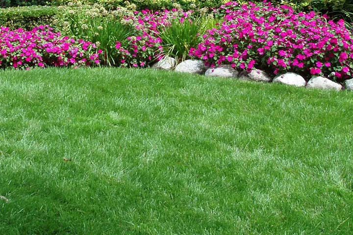 Tall Fescue Grass for Lawn