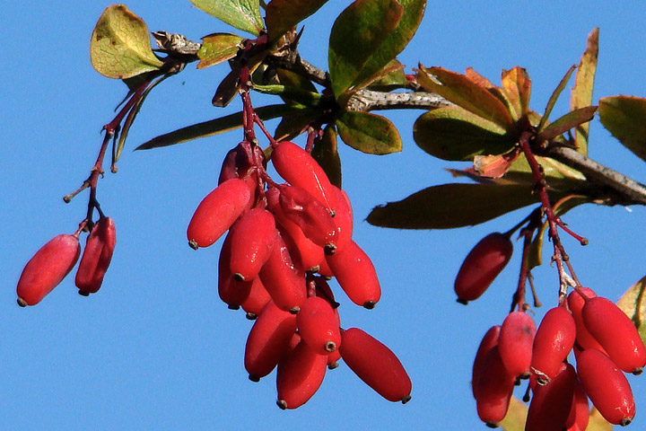 Health BenefiAmazing Health Benefits of Berberine ts of Berberine
