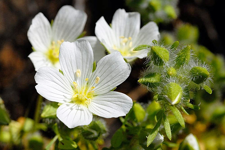 10 Benefits of Meadowfoam Seed Oil